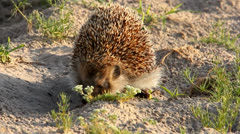 West European Hedgehog (Erinaceus europaeus) Stock Footage