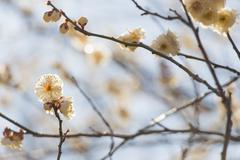 Stock Photo of white plum blossom