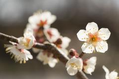White plum blossom Stock Photos