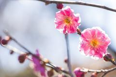 pink plum blossom - stock photo