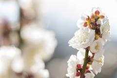 white plum blossom - stock photo