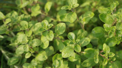 Oregano - stock footage