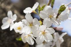 japanese cherry blossoms - sakura - stock photo