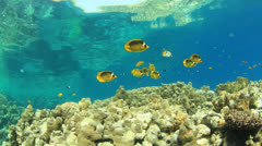 Butterflyfish on coral reef Stock Footage