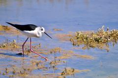 Black-winged Stilt in the marsh Stock Photos