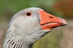 Portrait greylag goose - stock photo