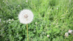 Dandelion on wind background Stock Footage