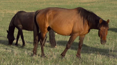 Horses on Pasture HD Stock Footage