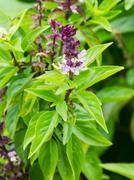 Basil flowers in the garden Stock Photos