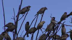 House sparrows on bush branch in India Stock Footage