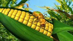 Bug eats GMO corn and gut explodes Stock Footage