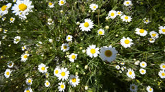 Daisies from heaven, wide angle crane shoot background Stock Footage