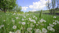 Natural video background. dandelions in the meadow Stock Footage