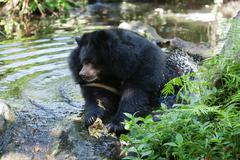 Asiatic black bear Stock Photos