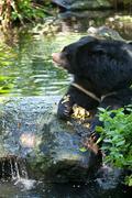 Asiatic black bear Stock Photos