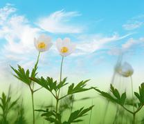 wood anemone flowers on blue sky - stock photo
