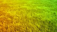 Wheat Field Waves Moved by Summer Wind Crane Nature Background HD Stock Footage