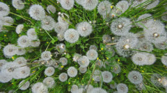 Dandelions and grass top wide view background Stock Footage