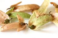 Hornbeam Seeds in dry leaves Stock Photos