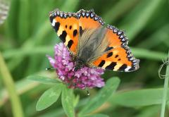 Butterfly - Small Tortoiseshell - Aglais urticae - stock photo