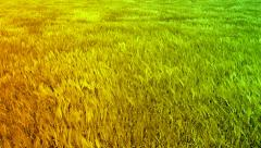 Green Orange Wheat Autumn Field Waves Moved by Summer Wind Crane Shot Background Stock Footage