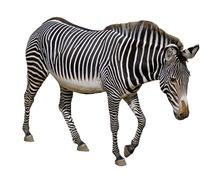 Isolated Grevy zebra - stock photo