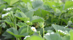 Blossoming strawberry close up. Dolly shoot. Stock Footage