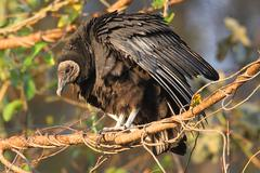 Perched black vulture Stock Photos