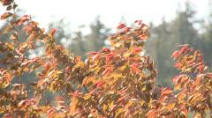 Autumn Leaves Stock Footage