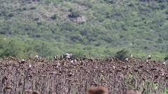 Birds Flying Through Sunflower Fields 2 Stock Footage