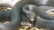 Stock Video Footage of Northern Black Racer - 2