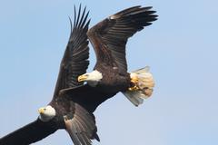 Bald eagles (haliaeetus leucocephalus) Stock Photos