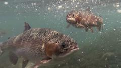 Trout Feeding Underwater - stock footage