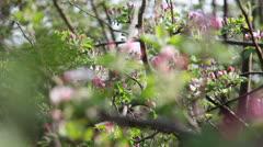Plum tree Stock Footage
