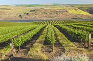Stock Photo of row of fresh vines in the columbia gorge or.