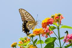 Stock Photo of colorful swallowtail butterfly flying and feeding on flowers