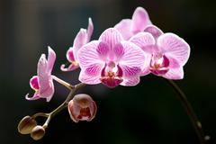 Beautiful moth orchid flowers with back sunlight Stock Photos