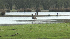 Wild geese walking Stock Footage