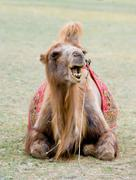 Mongolian camel Stock Photos