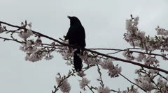 Brewer's Blackbird at the flowering cherry tree. Roosevelt Island, NYC Stock Footage