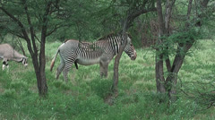 Grevy Zebra and Oryx in Buffalo Springs National Park, Kenya Stock Footage