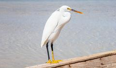 Little egret (egretta garzetta) at wild life - stock photo