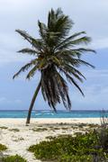 Lone coconut tree at foul bay, barbados Stock Photos