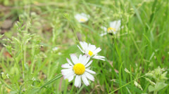 Daisies on green grass meadow Stock Footage