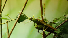 Two grasshoppers mating Stock Footage