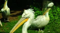 Pelican bird,pelecanus crispus, Stock Footage