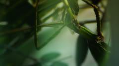 Close up HD video of a subadult Praying Mantis,Chinese Mantis Stock Footage