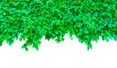 border of green leafs  isolated on white background (clipping path for design - stock photo