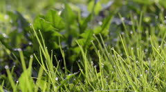 Close-up of dew drops on green grass Stock Footage
