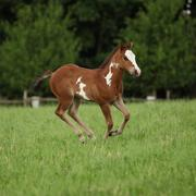 nice paint horse filly running on pasturage - stock photo